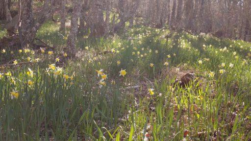 Claro en un bosque lleno de narcisos