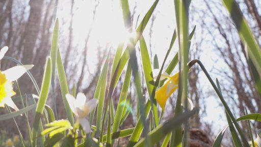 Narcissus pseudonarcissus subsp. nobilis